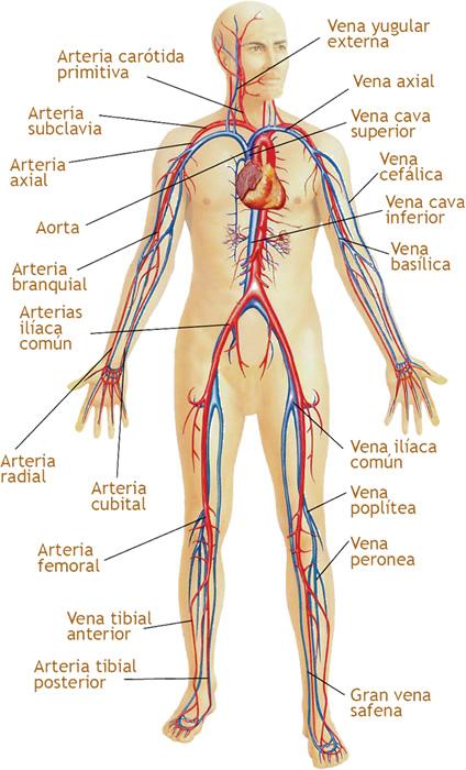 BioTerapias: Sistema Circulatorio